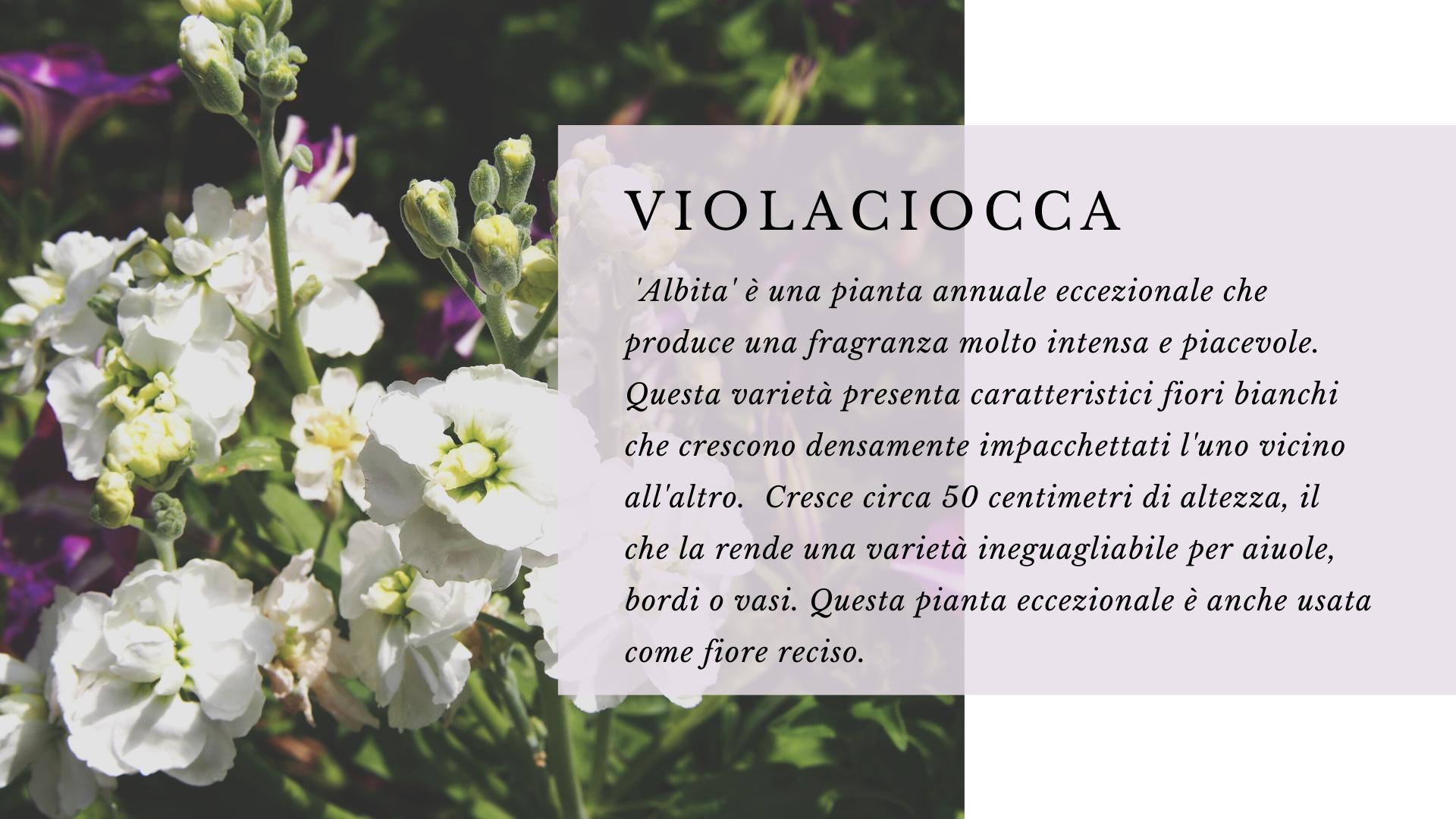 Violaciocca